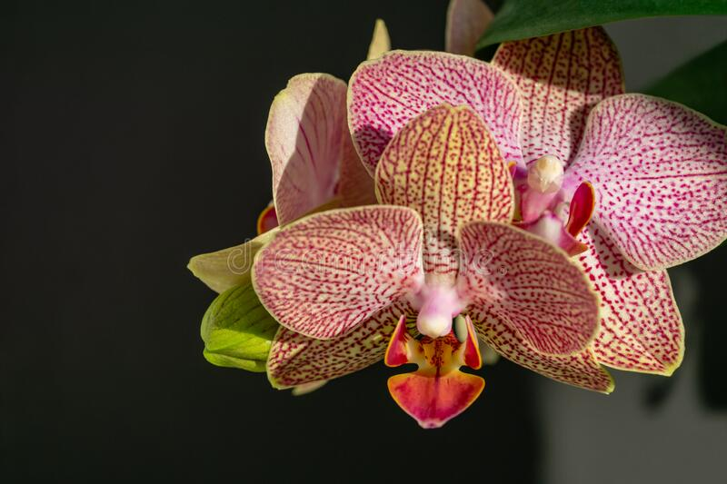 Close-up of yellow, red, pink and white striped with points orchid flower Phalaenopsis `Demi Deroose`. Known as the Moth Orchid, on black and gray background royalty free stock photo