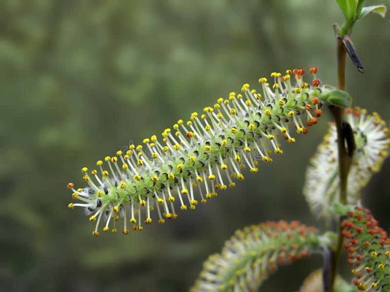 Close up of yellow and red willow catkin stock image