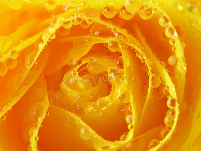 Close-up of yellow rose with drops stock photography