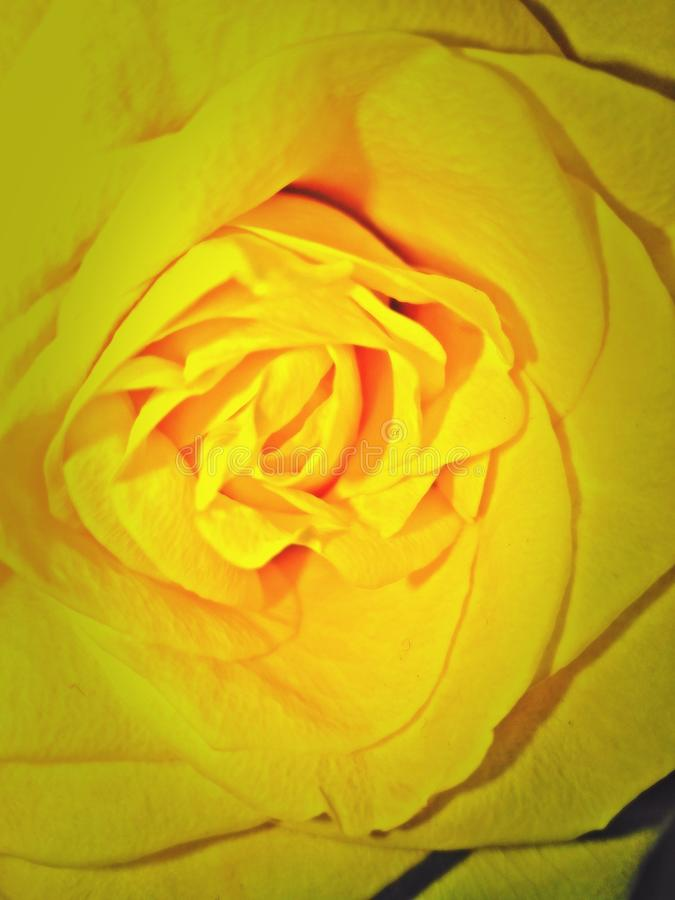 Close up of yellow rose stock image