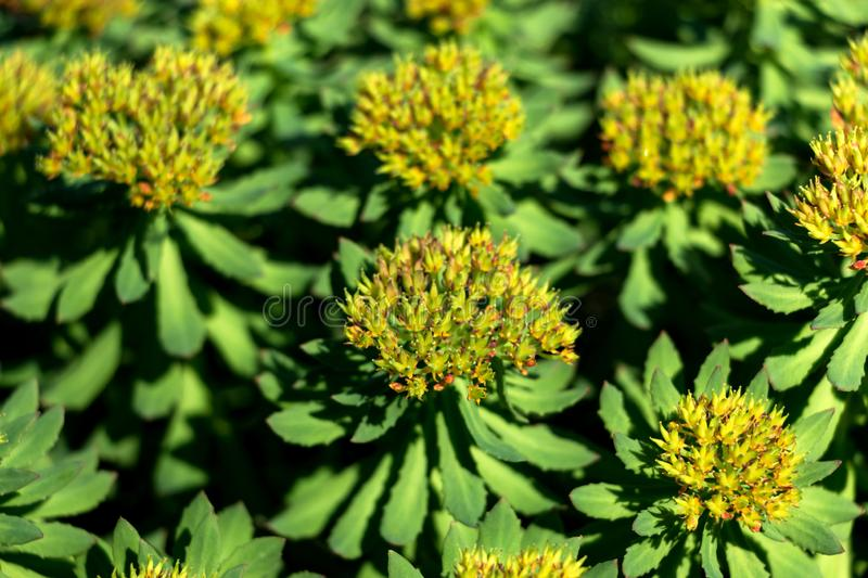 Close-up of Yellow Seedheads of Green Plants royalty free stock images