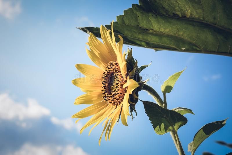 Close-up yellow sunflower against blue sky. Sunflower blooming.  royalty free stock images