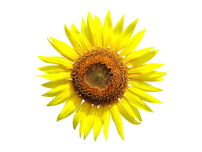 Yellow sunflower blooming isolated on white background. Close up yellow sunflower blooming isolated on white background stock photography