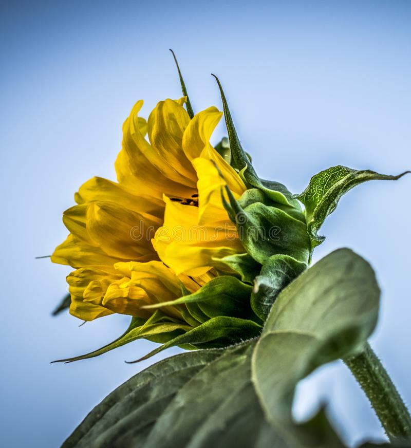 A yellow sunflower. A close-up of a yellow sunflower in a field royalty free stock photo