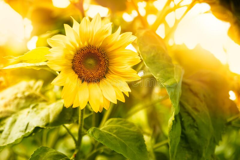 Close-Up Of Yellow Sunflower. Close-Up Of Yellow Flowering Plant On Field stock photos