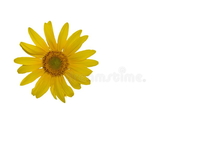 Close up yellow sunflower head isolated on white background stock images