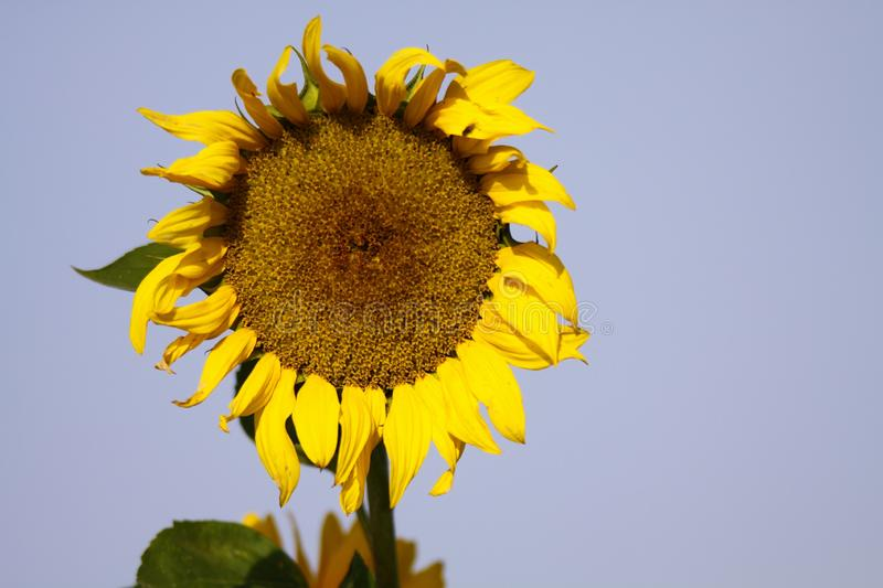 Close up of yellow sunflower Helianthus annuus bloom and green leaves contrasting with blue sky before fading in autumn - Brü. Close up of yellow sunflower stock photo