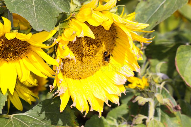 Close up of yellow sunflower Helianthus annuus bloom and green leaves contrasting with blue sky before fading in autumn. With bee stock photos