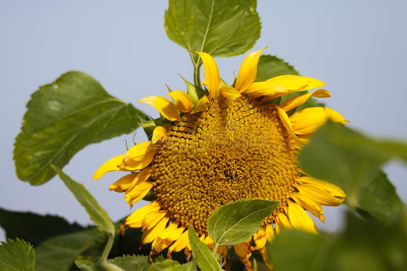 Close up of yellow sunflower Helianthus annuus bloom and green leaves contrasting with blue sky before fading in autumn. Brüggen, Germany stock photos