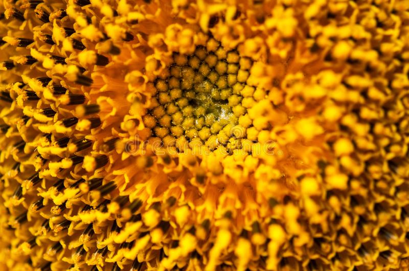 Close up yellow sunflower inflorescence, sacred geometry stock image