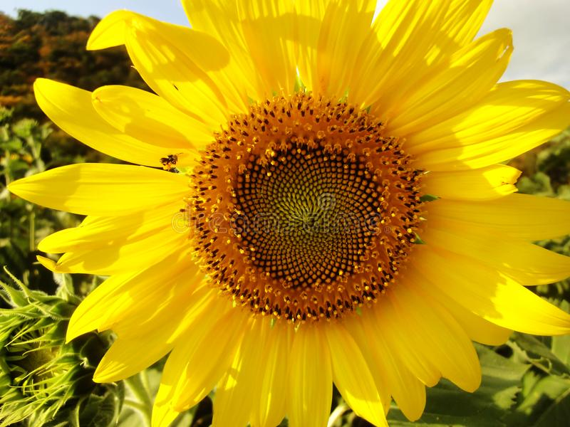 Close up Yellow sunflower leaves. Have insects royalty free stock images