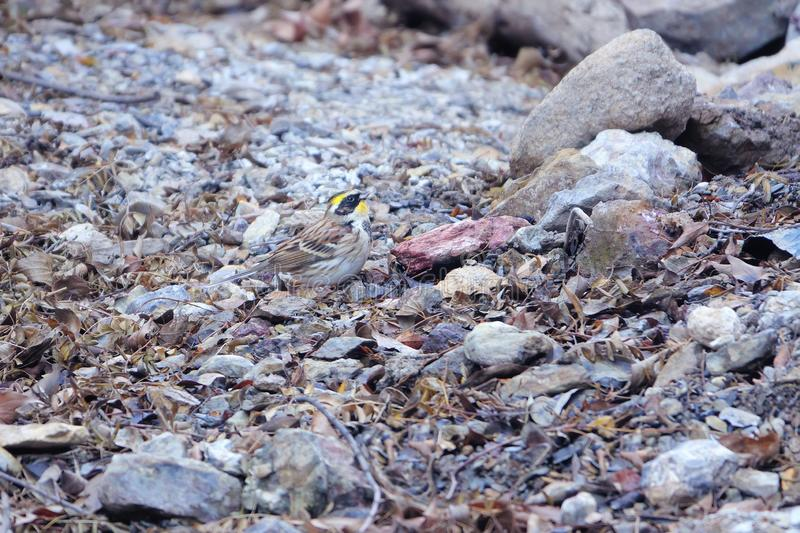 Yellow-throated Bunting stock images