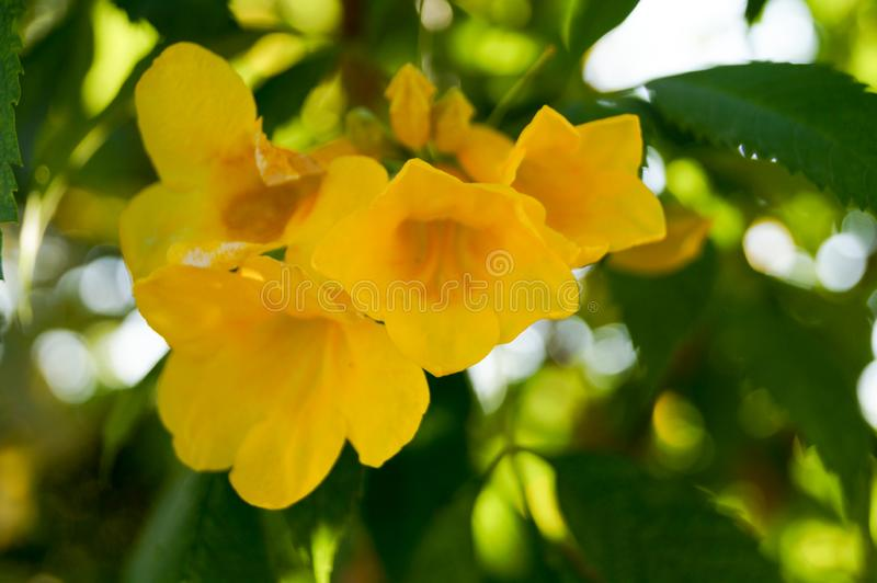 Close up the yellow trumpetbush. Zoom the yellow trumpetbush in the garden. The flowers look like gape royalty free stock image