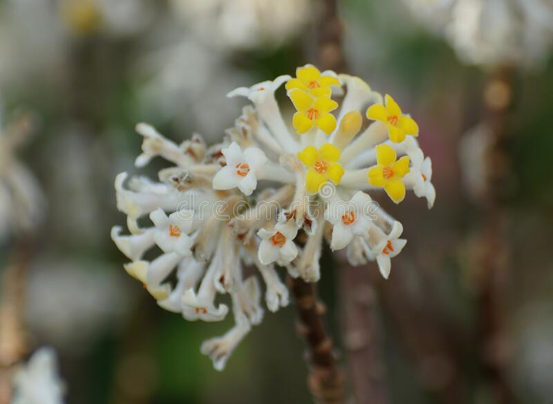Close up of a yellow and white paper-bush flowers stock photos