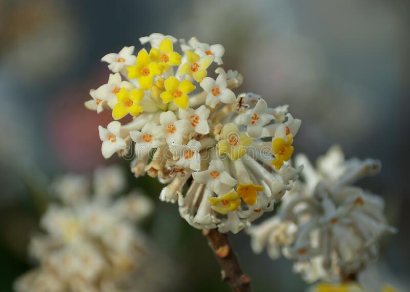 Close up of a yellow and white paper-bush flowers stock photography