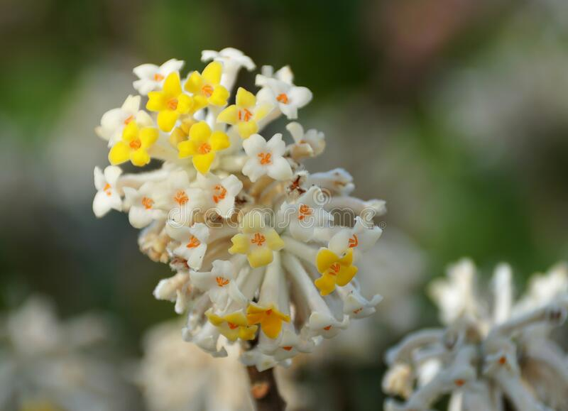 Close up of a yellow and white paper-bush flowers royalty free stock photo