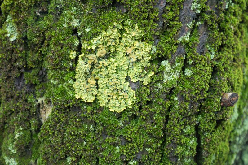 Closeup of yellow Xanthoria parietina lichen on tree bark covered with moss royalty free stock image