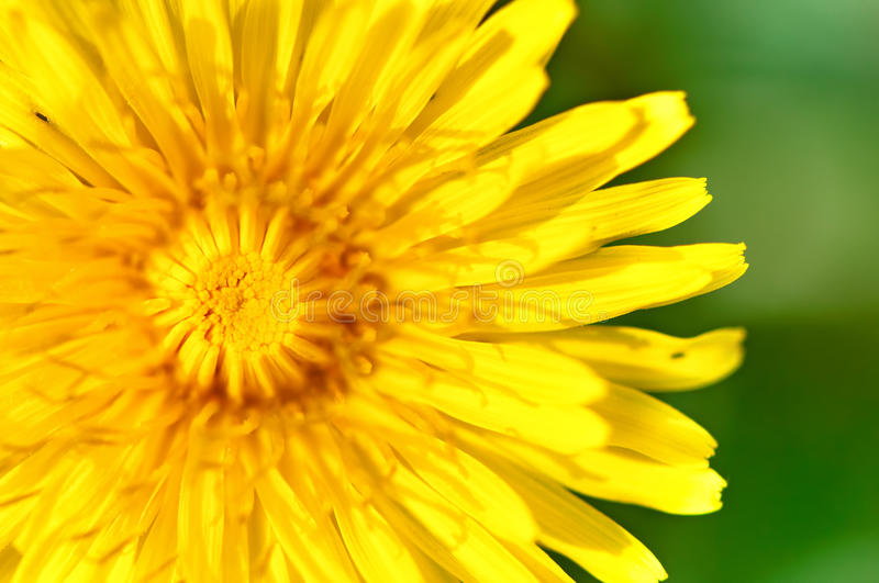 Close-up of yellow, young dandelion with green summer background royalty free stock photos