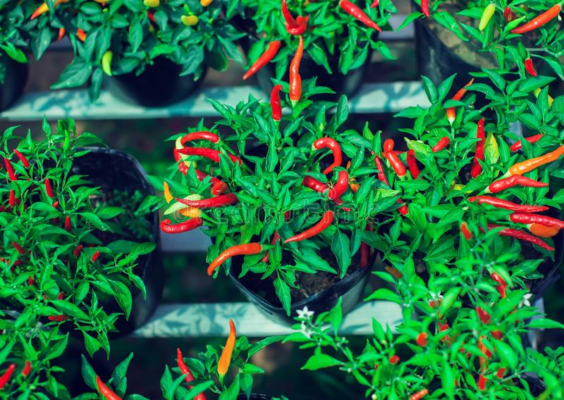 Close up of young Birds Eye Chili tree with its chilies in fresh stock image
