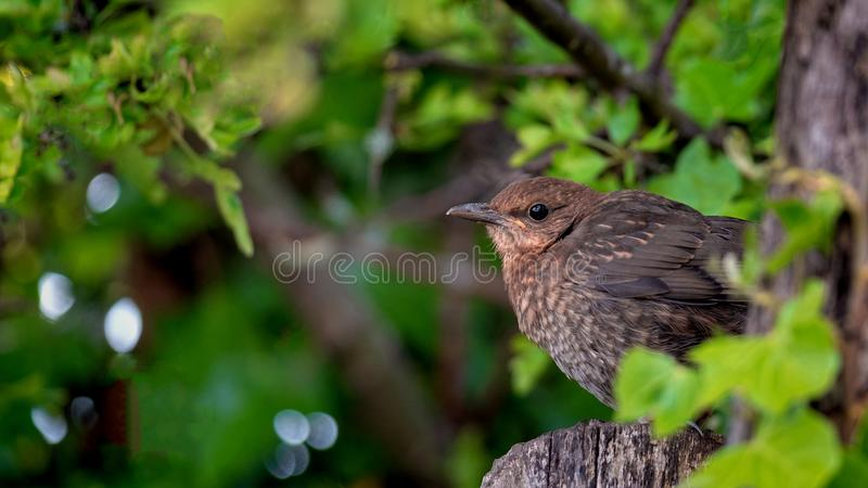 Close up of a young blackbird fledgling royalty free stock photo