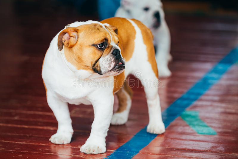 Beautiful Bulldog Brown Adorable Dog - close-up-young-brown-white-english-bulldog-dog-staying-wooden-floor-53717906  Snapshot_655033  .jpg