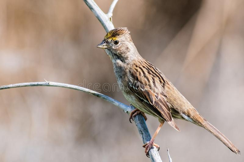 Close up of young Golden-crowned sparrow Zonotrichia atricapilla. California; they are migrating all throughout the west coast during winter and vanish for the royalty free stock photo