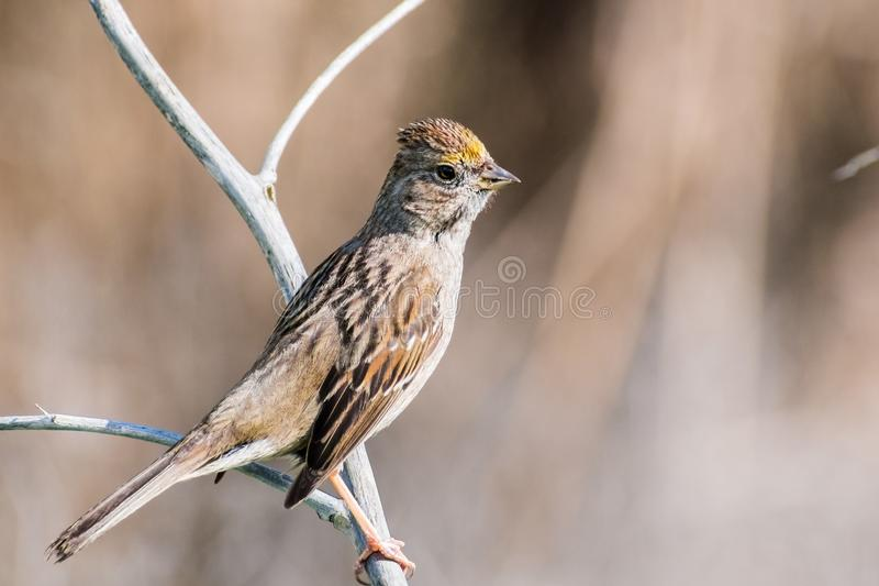 Close up of young Golden-crowned sparrow Zonotrichia atricapilla. California; they are migrating all throughout the west coast during winter and vanish for the stock photo