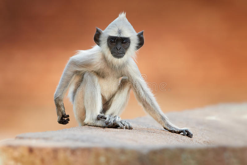 Close up young Gray langur, colorful background stock photography