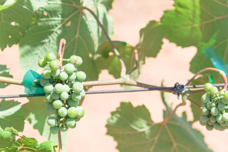Young green grape on vine at local winery in Grapevine, Texas, U. Close-up young green grape branches on the vineyard in Grapevine, Texas, USA. Baby ovary grapes royalty free stock photo