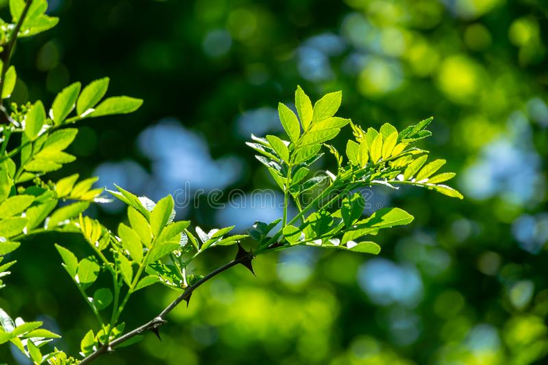Close-up young green leaves of Zanthoxylum americanum, Prickly ash on natural spring green bokeh background royalty free stock images