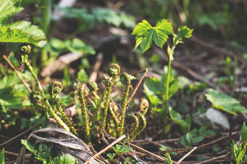 Close-up of Young green shprouts of ferns. Forest glade. Plants in nature. Spring season. New life. Green curls stock image