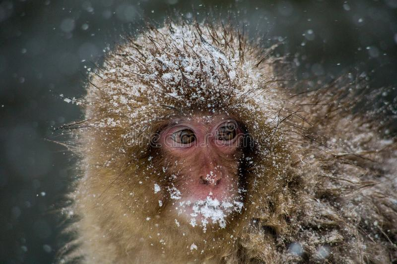 Close up on a young Japanese Macaque in a snowstorm. A very young Japanese Macaque, or snow monkey, huddles beside a hot spring, shivering in a heavy snowstorm royalty free stock photography
