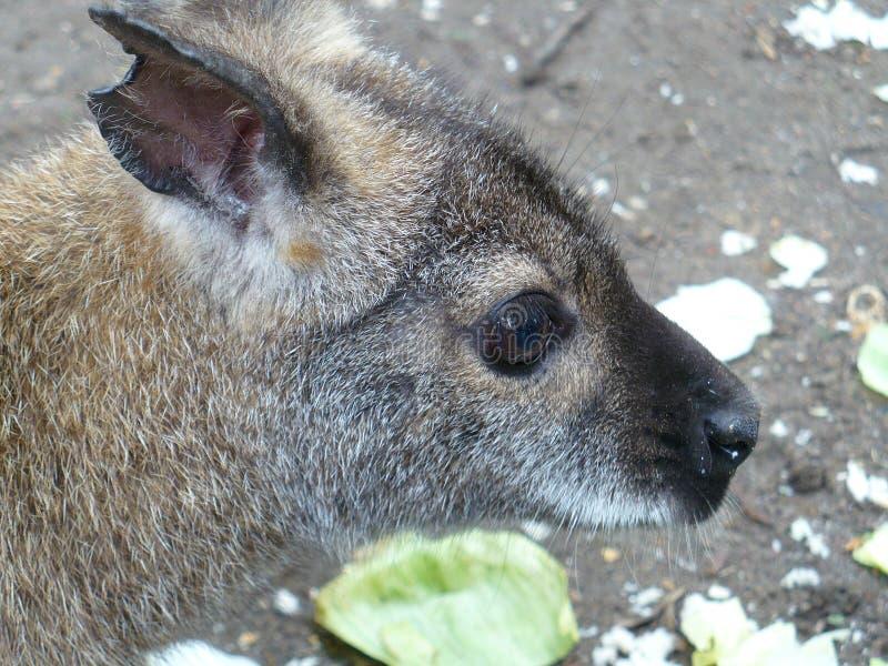 Close up of young kangaroo stock photo