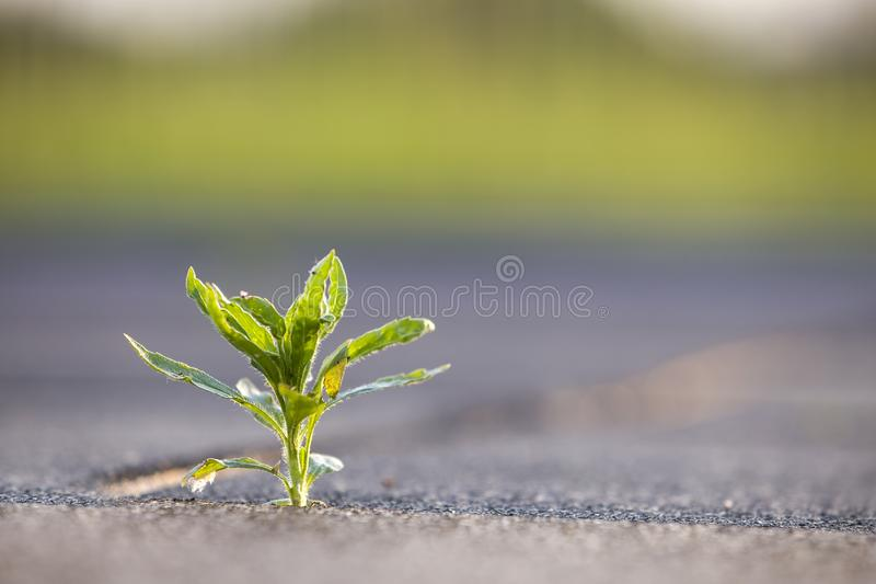 Close up of young little green plant starting to grow between concrete tiles in spring. Beginning of new life concept royalty free stock image