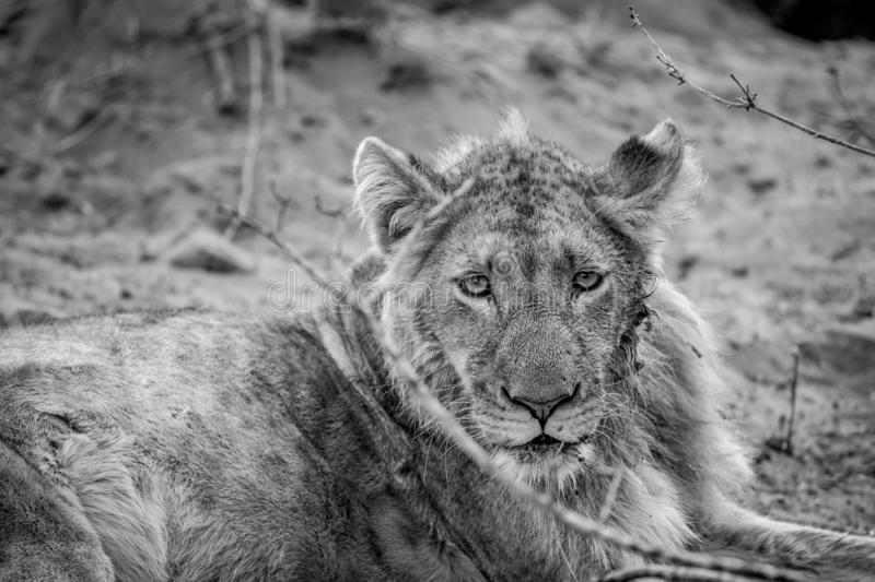 Close up of a young male Lion. In black and white in the Kruger National Park, South Africa stock photography