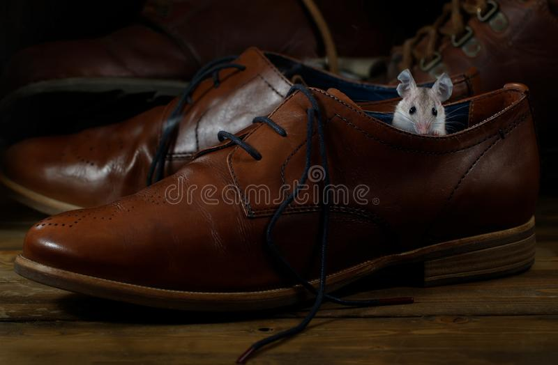 Close-up young mouse sits in leather brown shoe on the wooden floors. stock photo