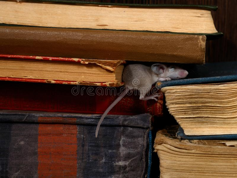 Close-up the young mouse sleeps on pile of old books in the library. stock photos
