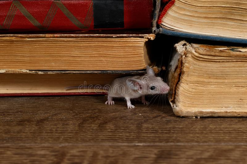 Close-up the young mouse sniffs the old book on the shelf in the library. stock image
