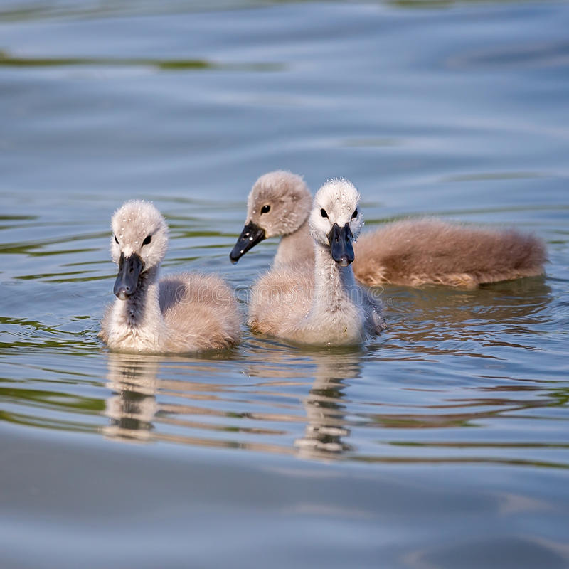 Close up of young mute swans Cygnus olor royalty free stock image