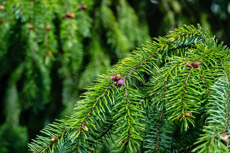 Close-up of young pinecones on the branches of Picea omorica. Sunny day in spring garden. Nature concept for design. Selective focus stock photography