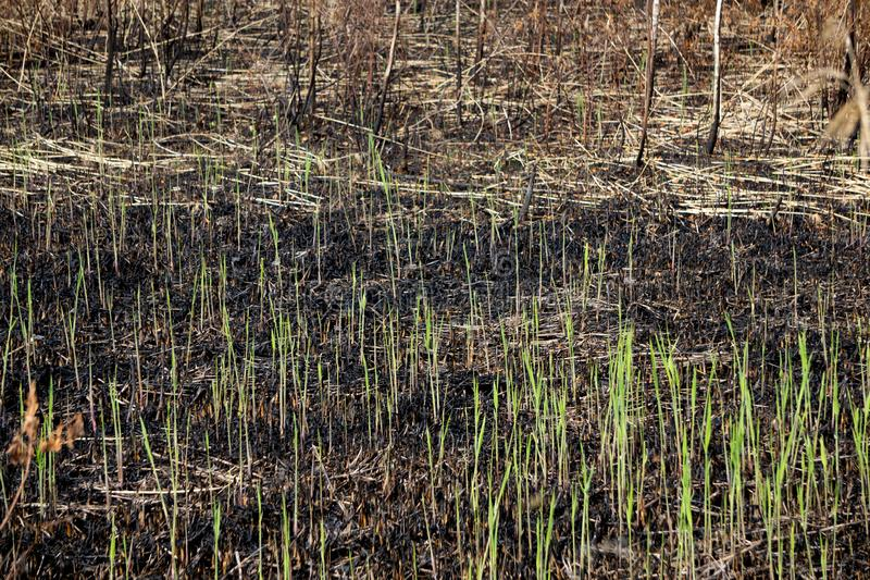 The close-up of young plantlets after fire royalty free stock photos