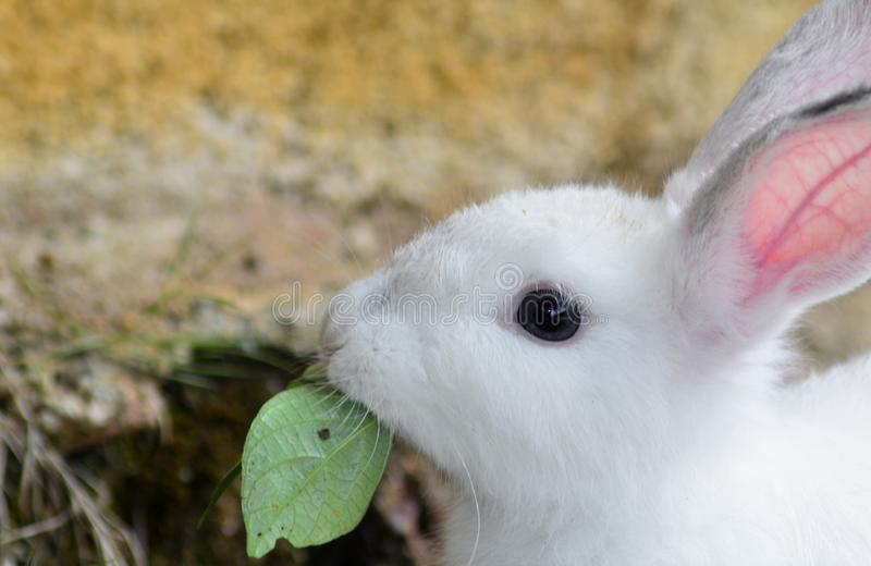 Close up young rabbit eating a green leaf. Young rabbit play and eat a green field. pet, small, ear, animal, mammal, food, backg, background, nature, park royalty free stock photos