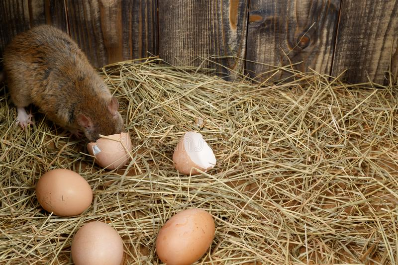Close-up the young rat  eats hen`s egg in the chicken coop. Top view. royalty free stock photo