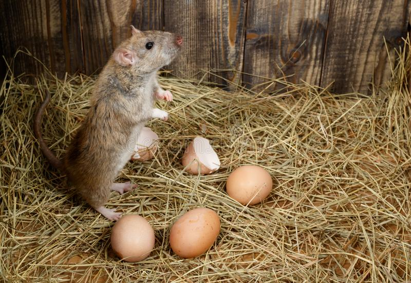 Close-up the young rat  stands on its hind legs and looking up in the chicken coop  near eggs. royalty free stock photography