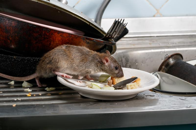 Close-up young rats sniffs leftovers on a plate on sink at the kitchen. royalty free stock photo