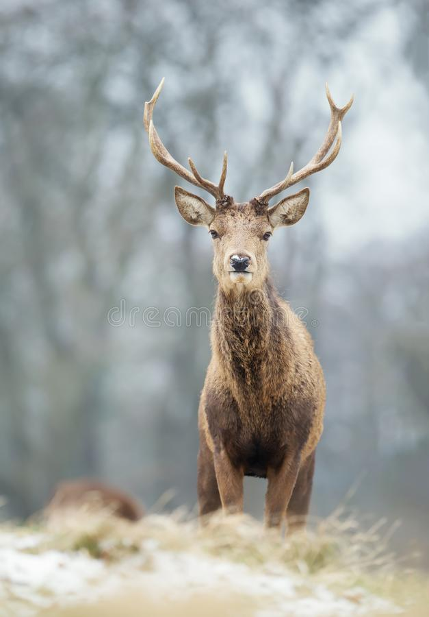 Close up of a young red deer stag in winter royalty free stock images