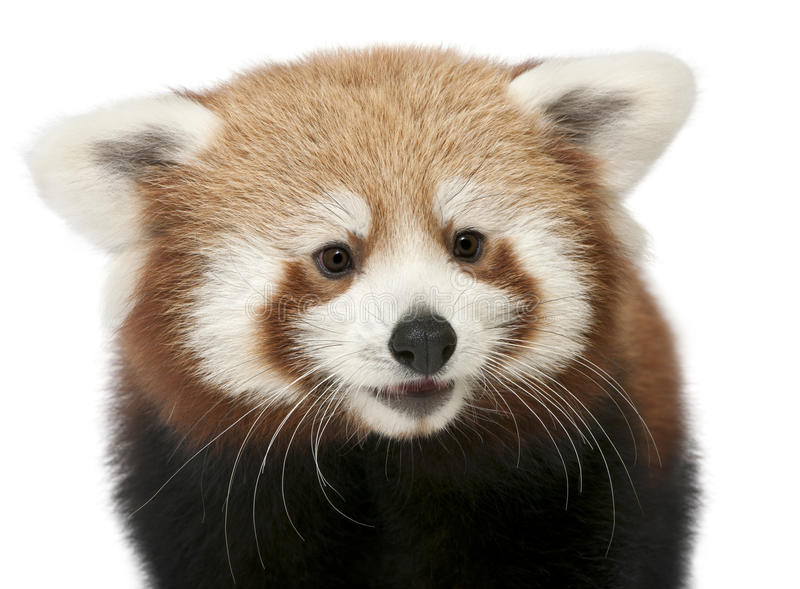 Close-up of Young Red panda or Shining cat. Ailurus fulgens, 7 months old, in front of white background royalty free stock photo
