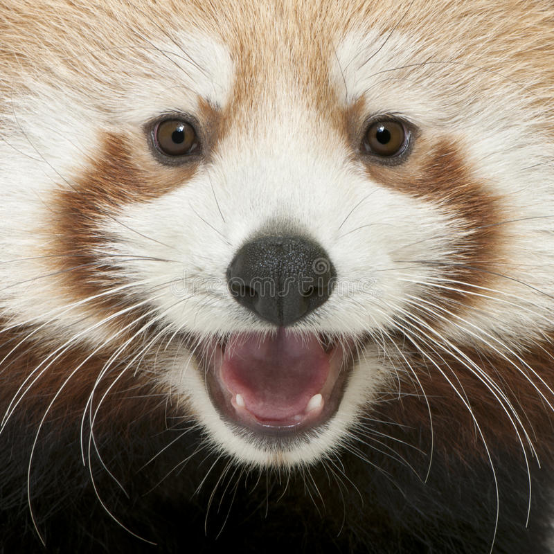 Close-up of Young Red panda or Shining cat. Ailurus fulgens, 7 months old stock image