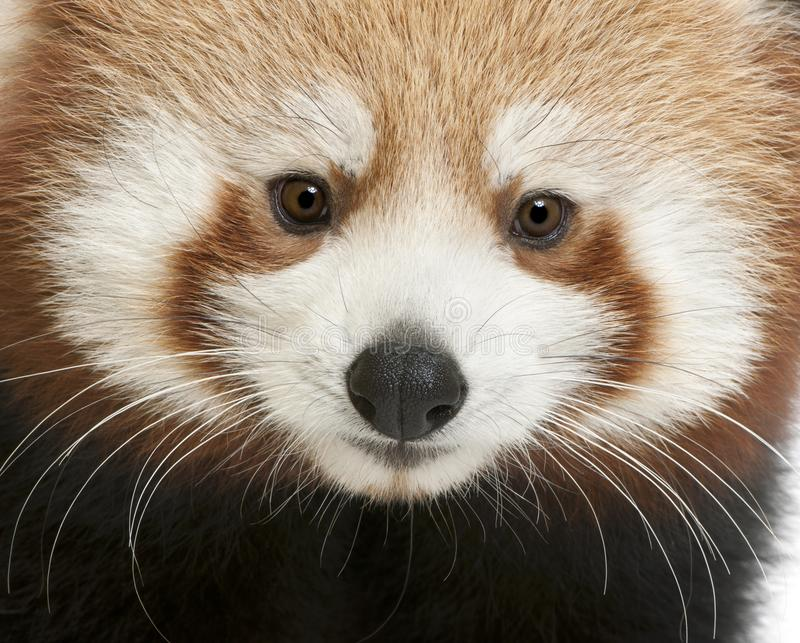 Close-up of Young Red panda or Shining cat, Ailurus fulgens. 7 months old stock images