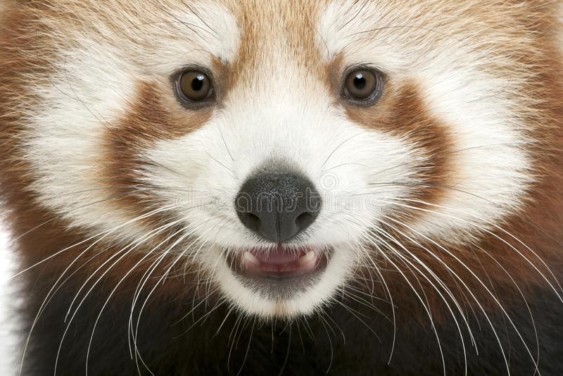 Close-up of Young Red panda or Shining cat, Ailurus fulgens. 7 months old royalty free stock images